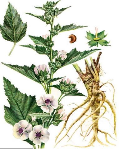 АЛТЕЙ ЛЕКАРСТВЕННЫЙ - Althaea officinalis.